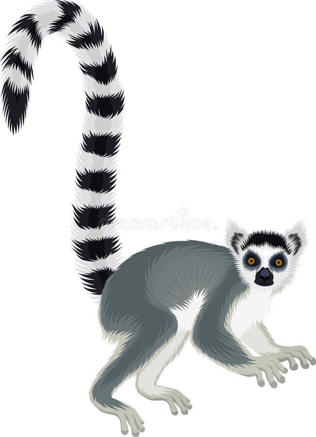 Vector ring-tailed Madagascar lemur illustration Lemur catta. Vector ring-tailed Madagascar lemur  Lemur catta vector illustration