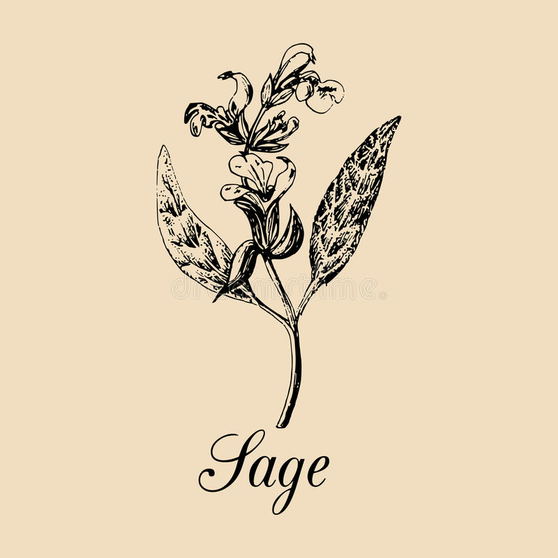 Vector Sage illustration. Hand drawn Salvia branch sketch. Culinary plant background. Officinalis, cosmetic herb logo. Vector Sage illustration. Hand drawn royalty free illustration