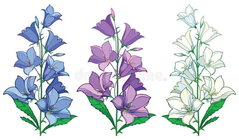 Vector set of bunch with outline Campanula or Bellflower or Bluebell flowers and bud in pastel blue, lilac and white isolated. Vector set of bunch with outline royalty free illustration