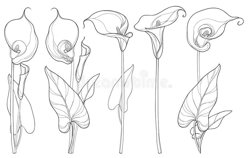 Vector set with Calla lily flower or Zantedeschia, bud and leaves in black isolated on white background. Contour floral elements. stock illustration