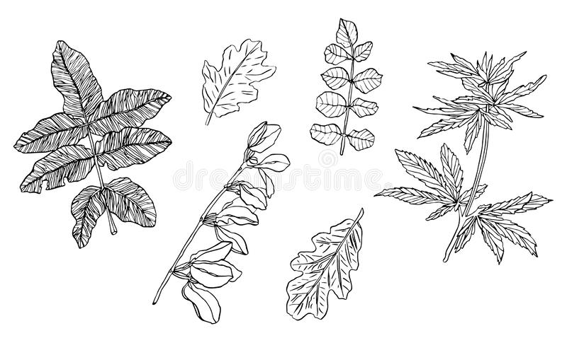 Vector Set of decorative branch of green leaves with streaky. Vector Set of green leaves with streaky on white background stock illustration