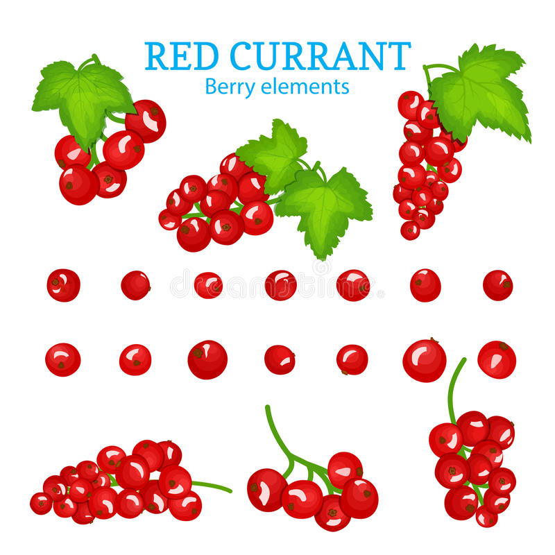 Vector set of a fresh red currant. Berries one by one and groups on branches and leaves. Collection of ripe red currantberry fruits for packaging design of stock illustration