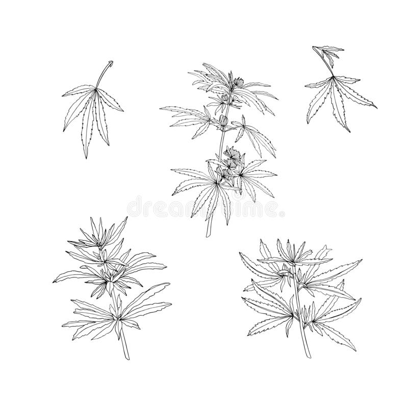 Vector set of green branch of big hemp and leaves. On white background stock illustration