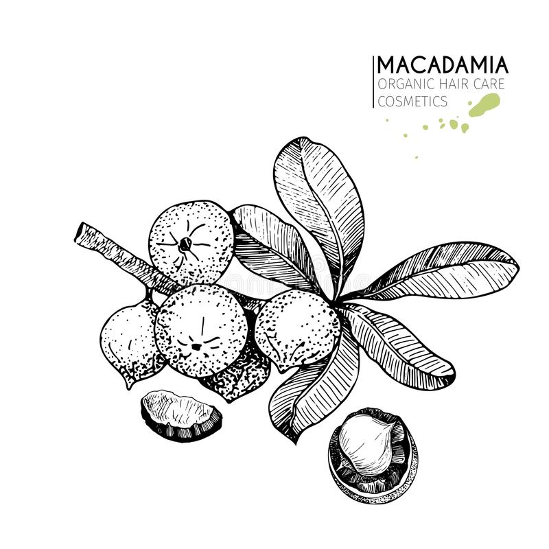 Vector set of hair care ingredients. Organic hand drawn elements. Macadamia branch and nuts. Use for cosmetic package, shop, store, products, spa salon vector illustration