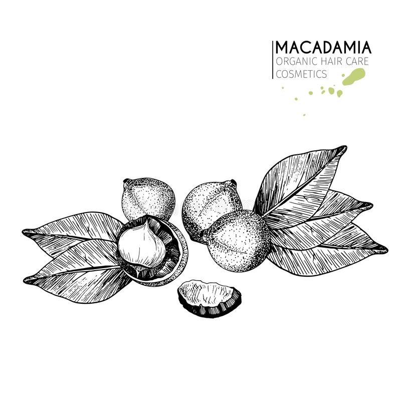 Vector set of hair care ingredients. Organic hand drawn elements. Macadamia nuts and leaves. stock illustration