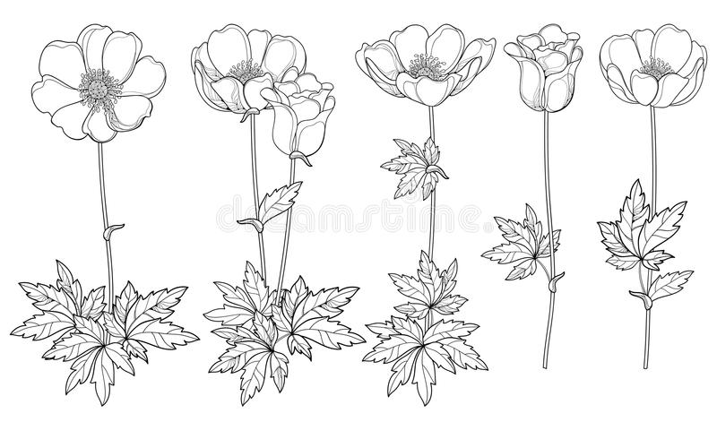Vector set of hand drawing outline Anemone flower or Windflower, bud and leaf in black isolated on white background. vector illustration