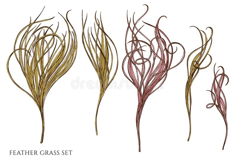 Vector set of hand drawn colored feather grass. Stock illustration vector illustration