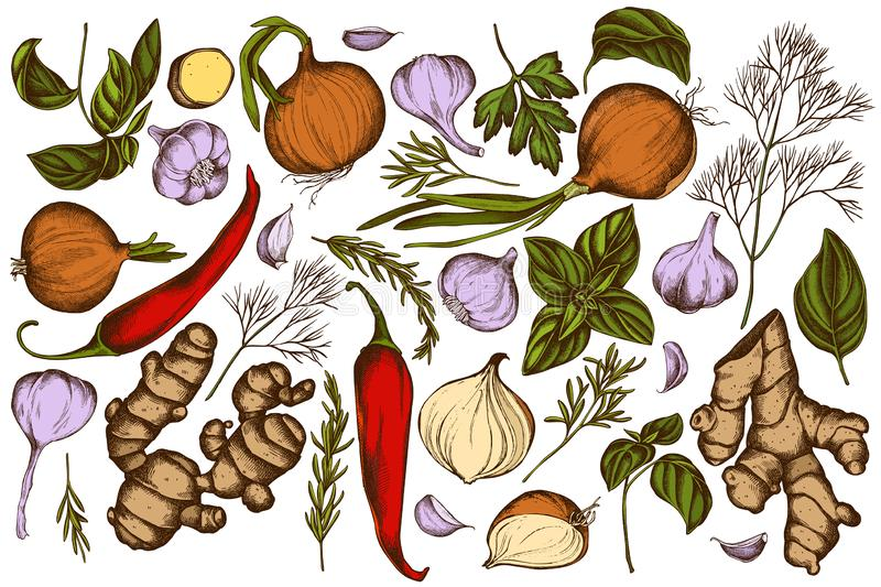 Vector set of hand drawn colored onion, garlic, pepper, greenery, ginger, basil, rosemary vector illustration