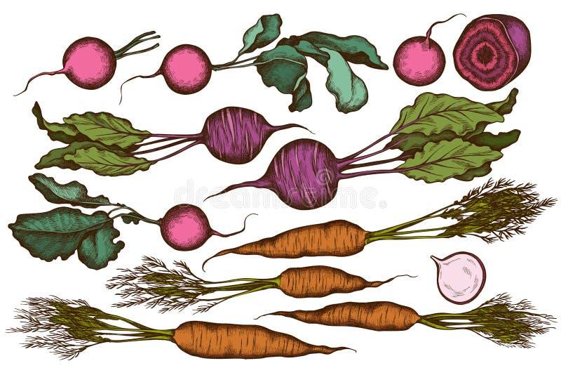Vector set of hand drawn colored radish, beet, carrot royalty free illustration
