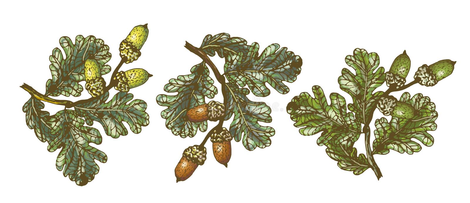 Vector set of isolated pattern with wonderful colorful different sort of oak branch with leaves, acorns, hand-drawn stock illustration