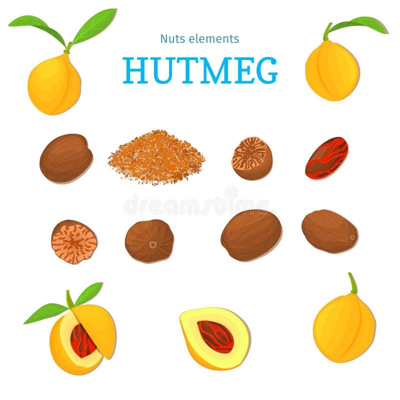 Vector set of nuts. Nutmeg spice fruit, whole, peeled, piece ground half leaves. royalty free illustration
