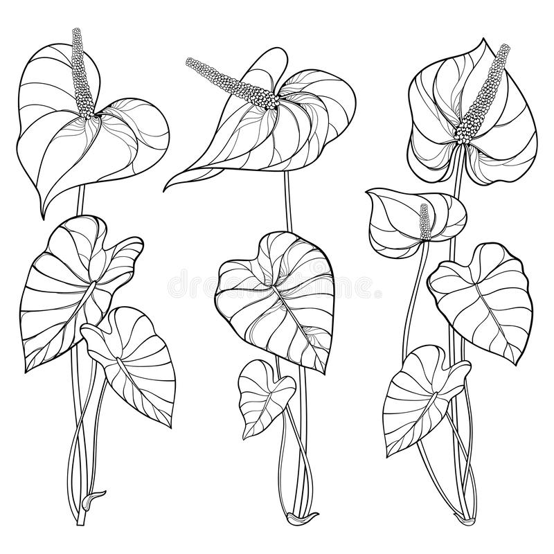 Free Vector Set Of Outline Tropical Plant Anthurium Or Anturium Flower Bunch With Leaves In Black Isolated On White Background. Royalty Free Stock Photo - 152647365