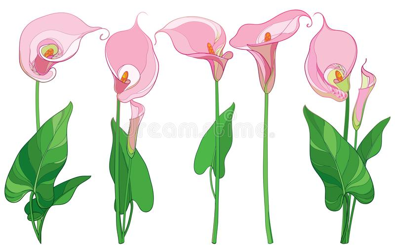 Vector set with outline Calla lily flower or Zantedeschia, bud and ornate leaves in pastel pink and green color isolated on white. Vector set with outline Calla vector illustration