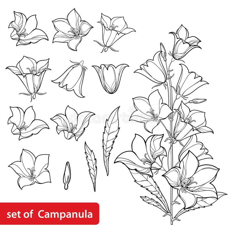 Vector set with outline Campanula or Bellflower or Bluebell flower bunch, leaves and bud in black isolated on white background. Perennial plant in contour vector illustration