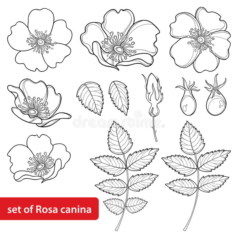 Vector set with outline Dog rose or Rosa canina, medicinal herb. Flower, bud, leaves and hip isolated on white background. royalty free illustration