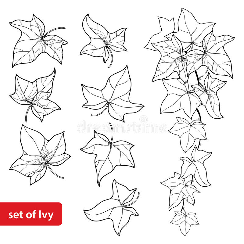Vector set with outline Ivy or Hedera. Ornate leaf and Ivy vine in black isolated on white background. Evergreen climbing plant. stock illustration