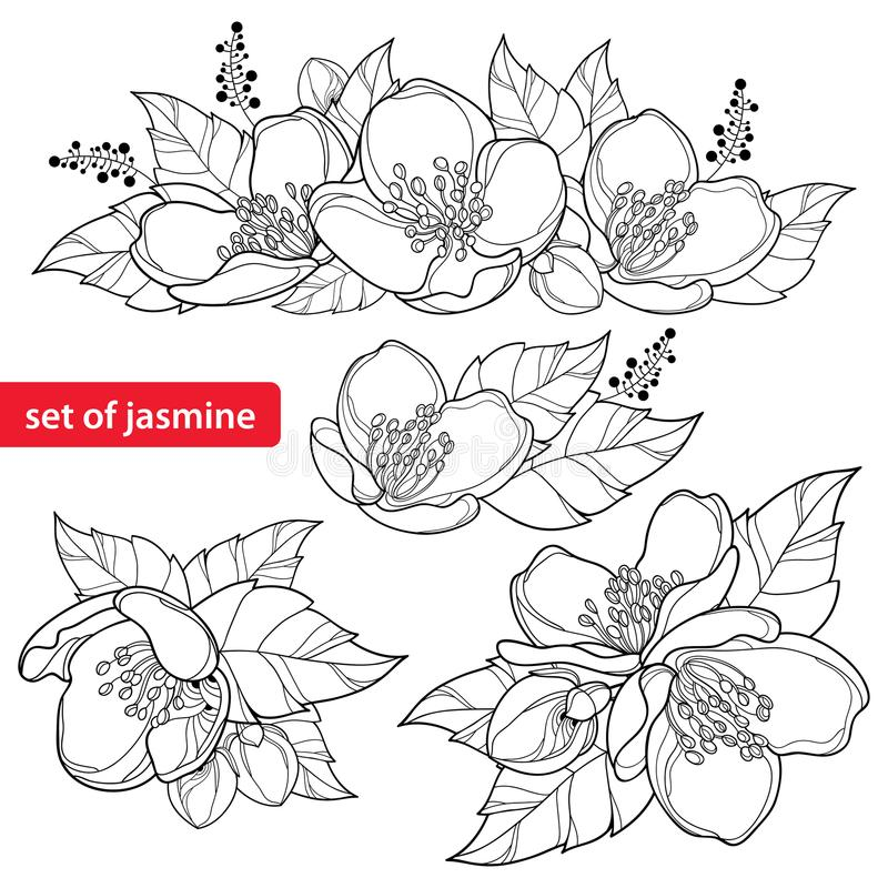 Vector set with outline Jasmine flower bunch, bud and ornate leaves in black isolated on white background. Ornate Jasmine floral. Vector set with outline vector illustration