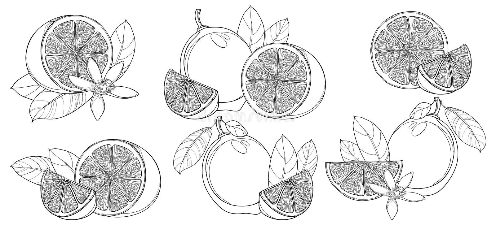 Vector set with outline Lime isolated on white background. Contour half and whole fruit, slice, leaf and Lime flower in black. stock illustration