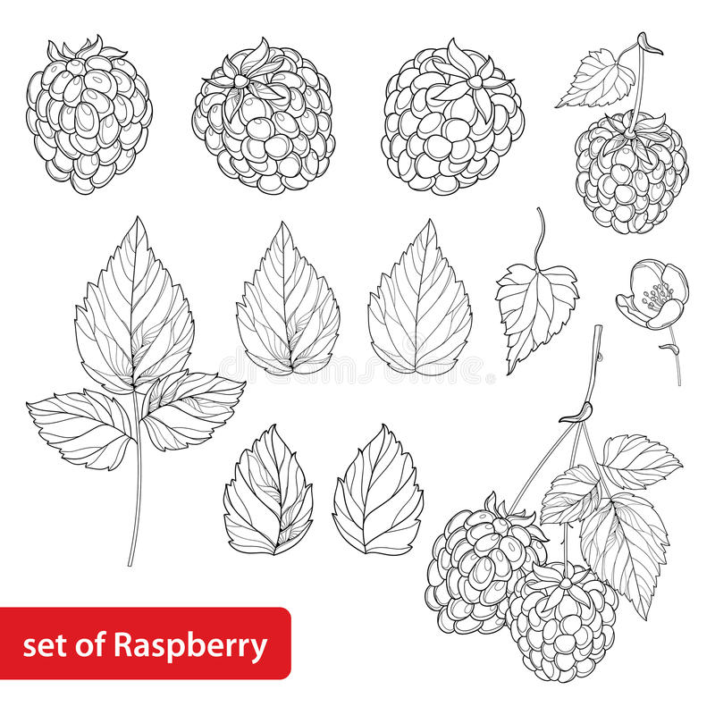 Vector set with outline Raspberry, bunch, berry, flower and leaves in black on white background. Fruit element. royalty free illustration