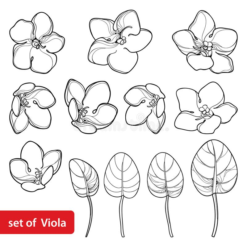 Vector set with outline Saintpaulia or African violet flower and leaf in black isolated on white background. Viola flowers. Vector set with outline Saintpaulia stock illustration
