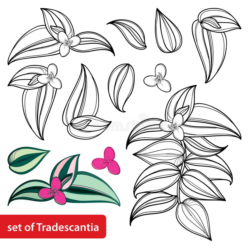 Vector set with outline Tradescantia zebrina flower or Inch plant or Wandering flower, bunch and leaf isolated. royalty free illustration