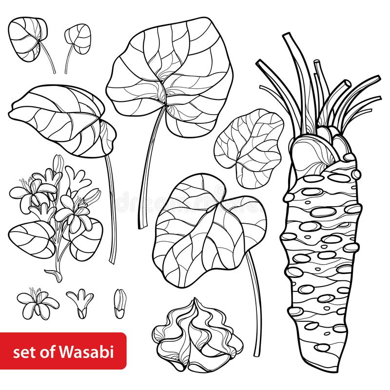 Vector set of outline Wasabi or Japanese horseradish, leaf, root, raw and flower in black isolated on white background. vector illustration