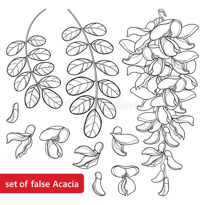Vector set of outline white false Acacia or black Locust or Robinia flower bunch, bud and leaves in black isolated on white. Vector set of outline white false vector illustration