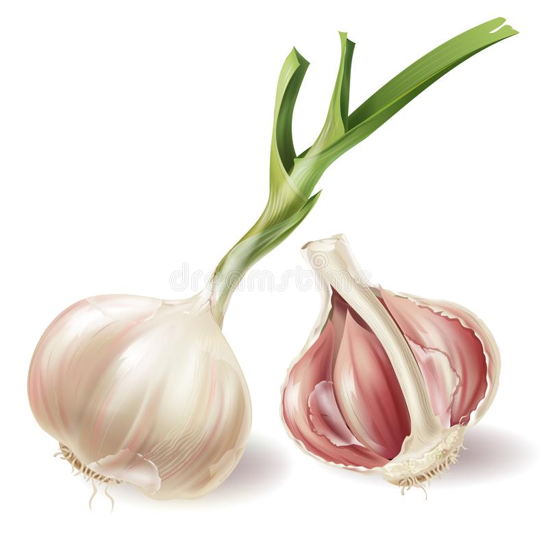 Vector realistic sprouted head of garlic and half stock illustration