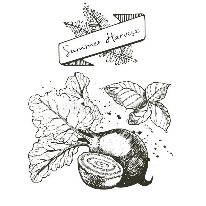 Vector set of summer harvest. Decorated with banner, fern leaves and blots. Beetroot and basil. Vector set of summer harvest. Decorated with banner, fern leaves vector illustration
