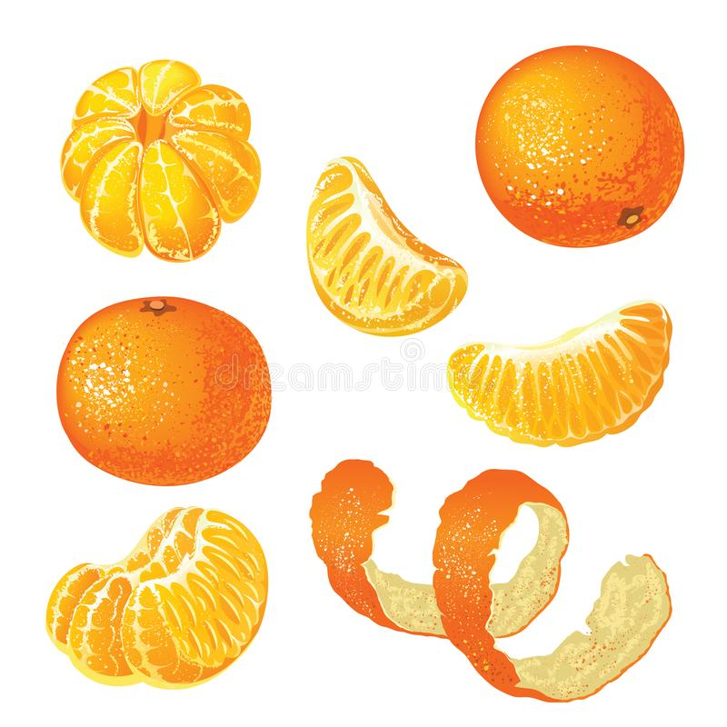 Vector set with tangerines isolated on white background. royalty free illustration