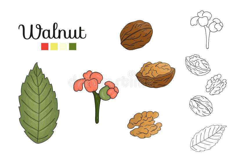 Vector set of walnut tree elements isolated on white background royalty free illustration