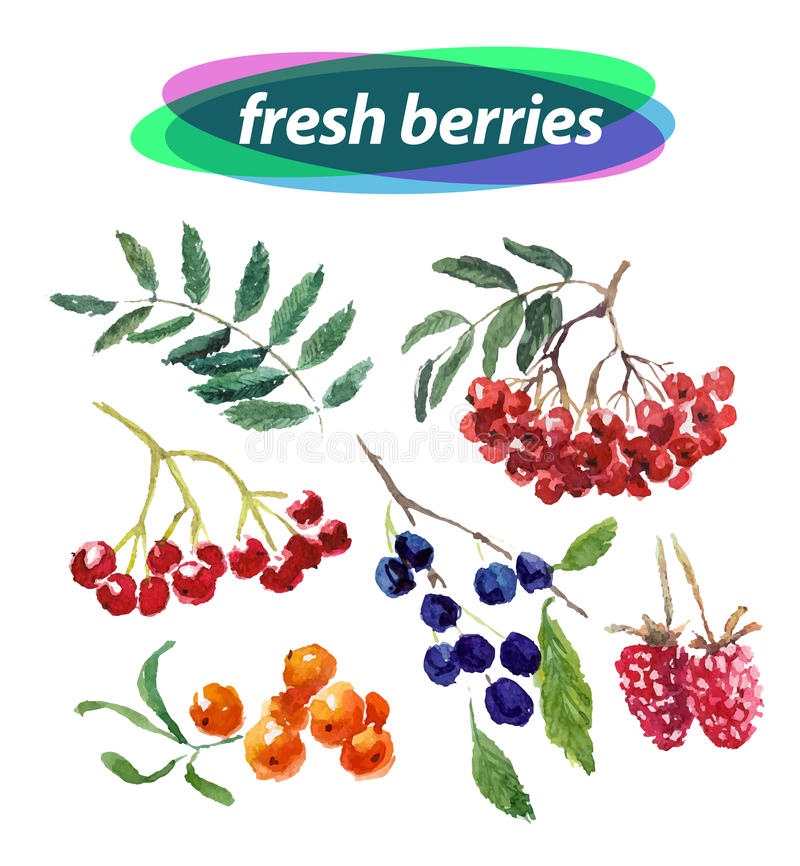 Vector set of watercolor berries elements on white background. Cute illustration is good for magazine or book, poster and card design, menu cover stock illustration