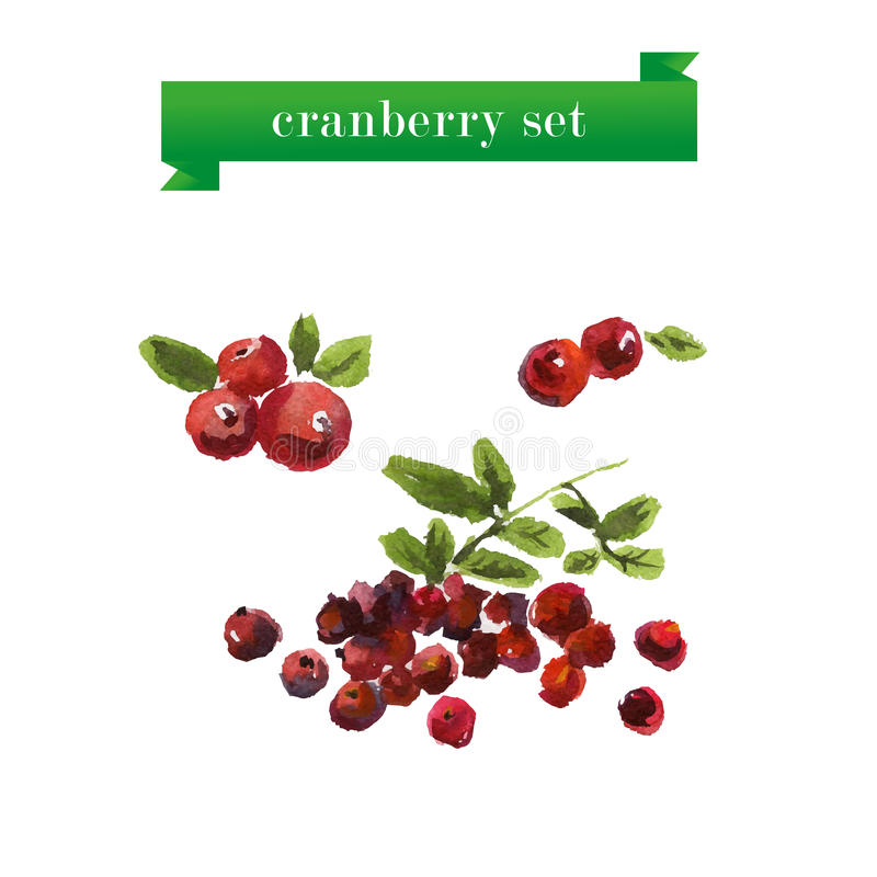 Vector set of watercolor cranberries. On white background. Fresh food illustration. Good for magazine and book articles, poster design vector illustration