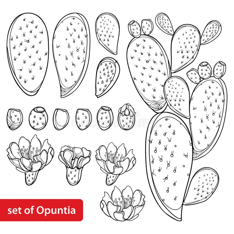 Free Vector Set With Outline Cactus Indian Fig Opuntia Or Prickly Pear Plant, Fruit, Flower And Stem In Black Isolated On White. Stock Photos - 145231133