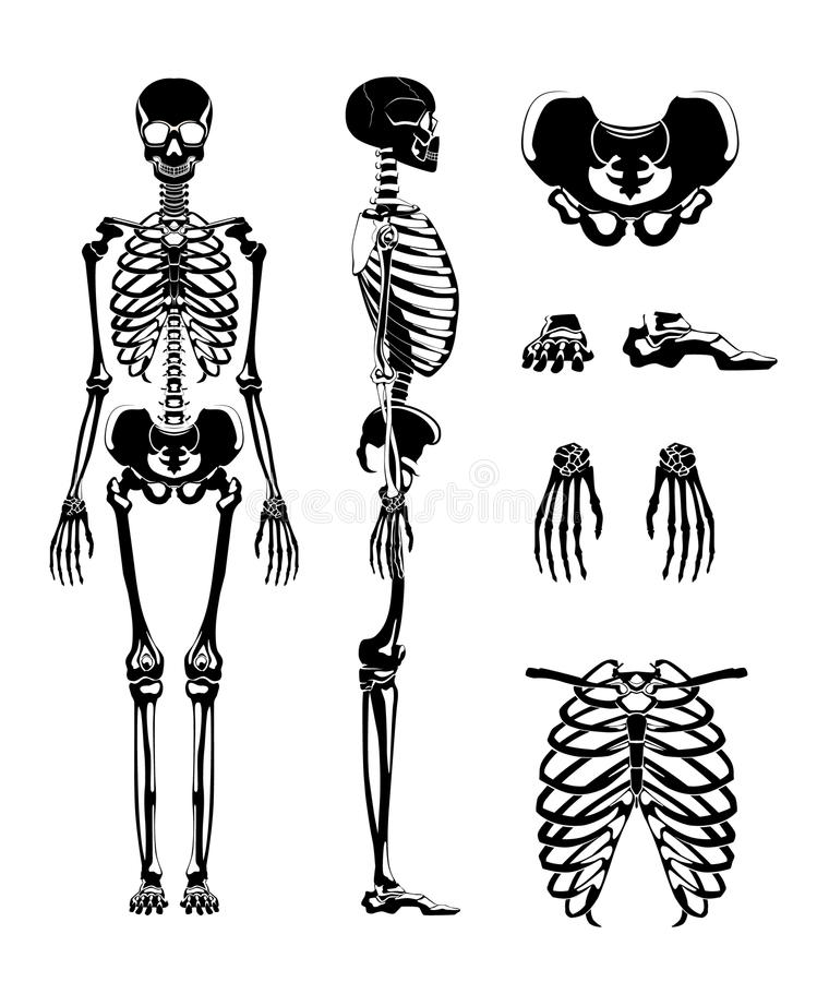 Vector silhouette of human skeleton. Anatomy pictures. Different bones. Skeleton anatomy, human skull illustration vector illustration