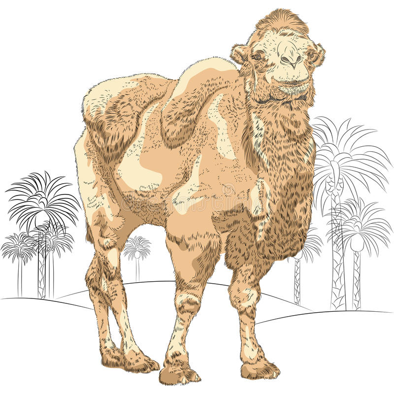 Vector sketch of Bactrian camel in the desert stock photography