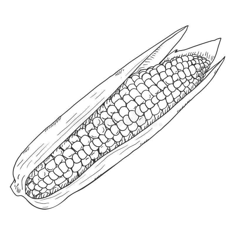 Vector Sketch Corn Cob vector illustration