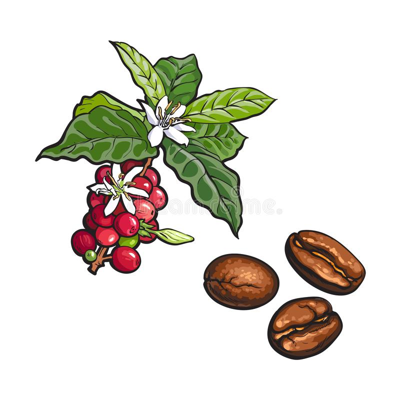 Vector coffee tree branch, fried beans royalty free illustration