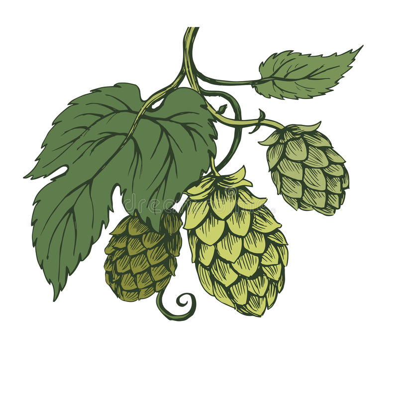Vector sketch of hops branch on green tones. Vector sketch hops branch on green tones vector illustration