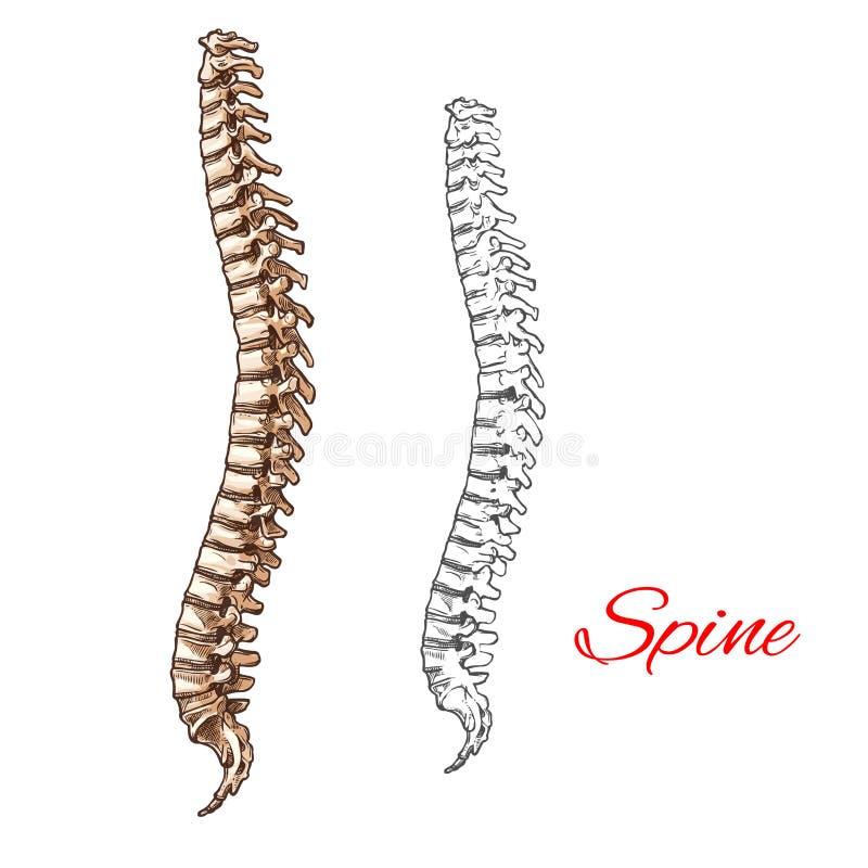 Vector sketch icon of human spine bones or joints. Human spine bones and backbone joints vector sketch body anatomy icon. Isolated symbol of spinal vertebra of vector illustration