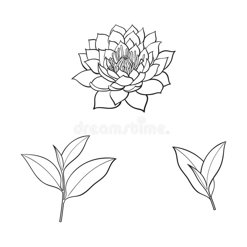 Vector sketch lotus flower, tea leaves set. Vector sketch cartoon lotus flower blossom blooming, tea leaves branch set. Isolated illustration on a white royalty free illustration