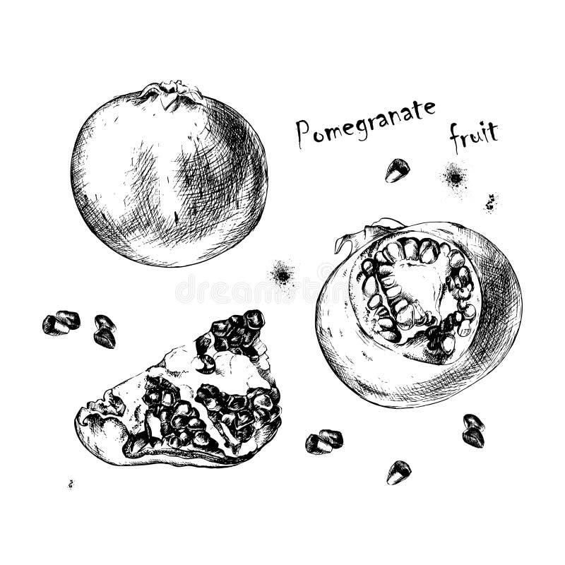 Vector sketch of pomegranate fruit for design stock image