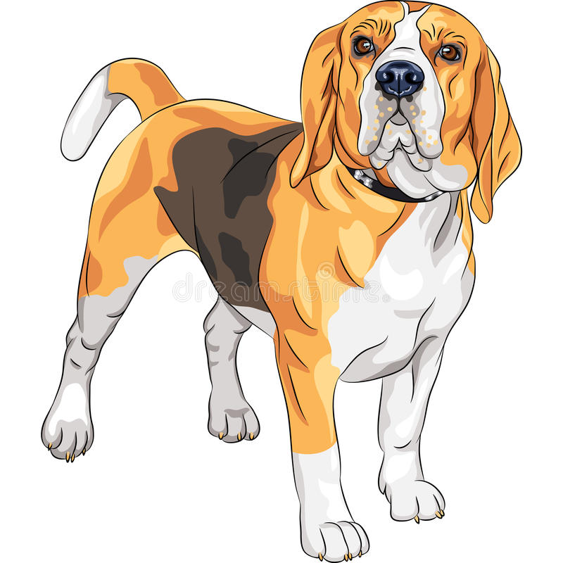 Download Vector Sketch Serious Dog Beagle Breed Stock Vector - Illustration: 28850346