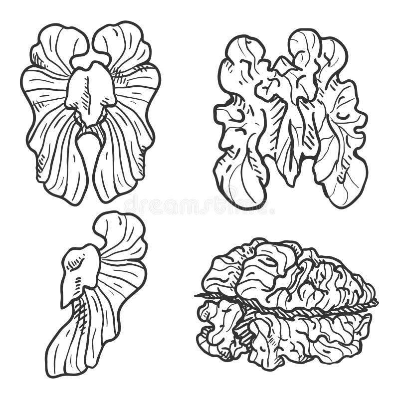 Vector Sketch Set of Walnuts vector illustration