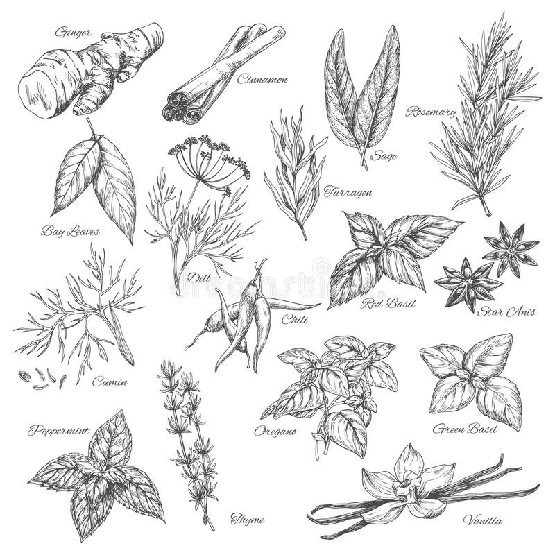 Vector sketch spices and herb plants flavorings stock illustration