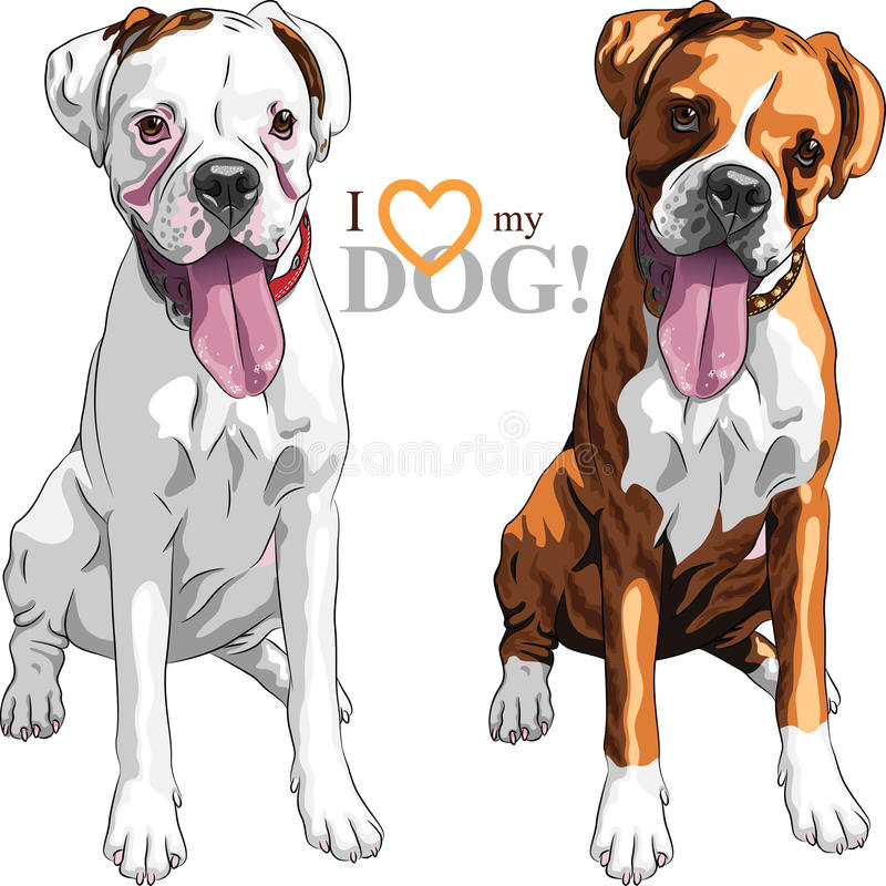 Vector sketch two domestic dog Boxer breed. Closeup portrait of the pair of domestic dogs Boxer breed white and brindle stock illustration