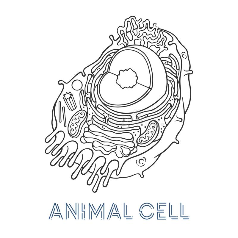 Vector sketching illustrations. Schematic structure of animal cell. Isolated objects for educational material stock illustration
