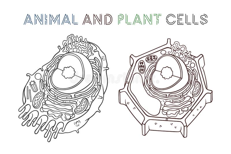 Vector sketching illustrations. Schematic structure of animal and plant cells. Isolated objects for educational material stock illustration