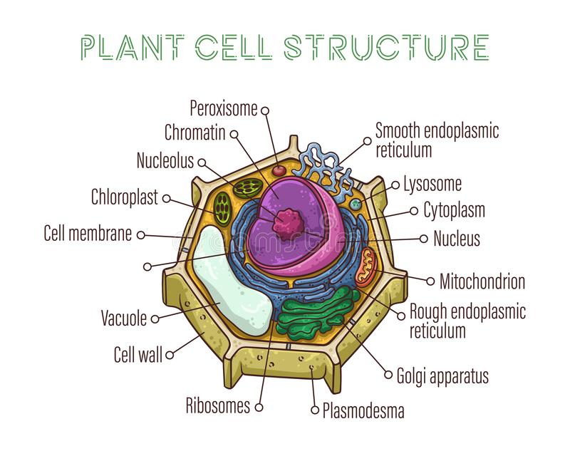Vector sketching illustrations. Schematic structure of plant cell. Isolated objects for educational material stock illustration