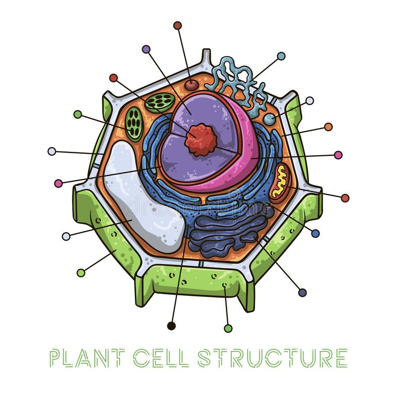 Vector sketching illustrations. Schematic structure of plant cell. Isolated objects for educational material royalty free illustration